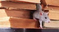 rat in book